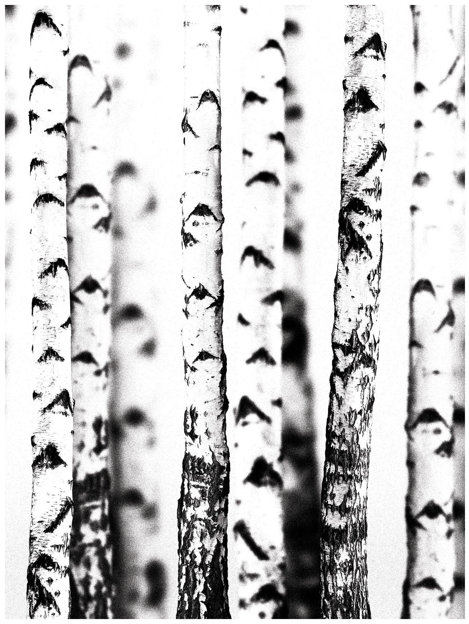 Fototapeta las brzoza fototapety na ścianę